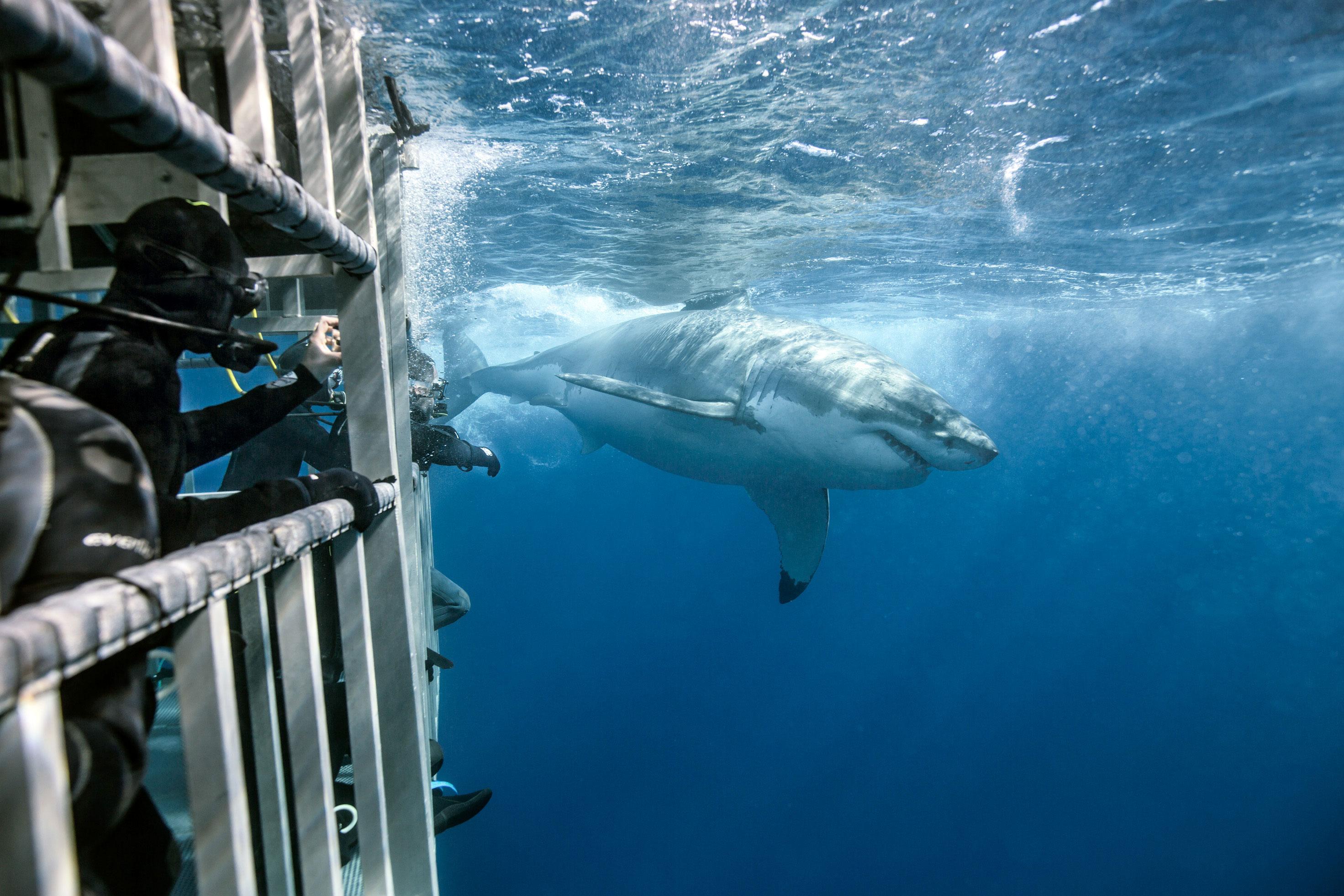 Hrane se planktonom i sitnim morskim životinjama koje hvataju svojim lovkama opremljenim žarnim stanicama.